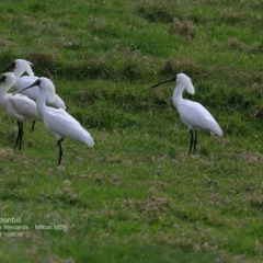 Platalea regia (Royal Spoonbill) at Undefined - 11 Oct 2016 by Charles Dove