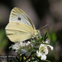 Pieris rapae (Cabbage White) at South Pacific Heathland Reserve - 27 Nov 2016 by Charles Dove