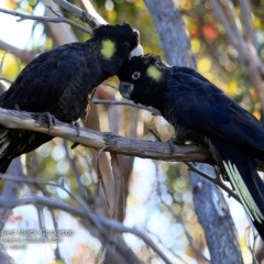 Calyptorhynchus funereus (Yellow-tailed Black-cockatoo) at South Pacific Heathland Reserve - 21 Nov 2016 by Charles Dove