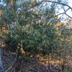 Olea europaea subsp. cuspidata (African Olive) at Mount Majura - 10 Jun 2018 by WalterEgo