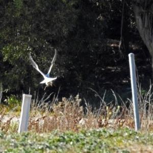 Elanus axillaris at Jerrabomberra Wetlands - 10 Jun 2018