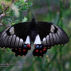Papilio aegeus (Orchard Swallowtail, Large Citrus Butterfly) at One Track For All - 19 Nov 2016 by Charles Dove