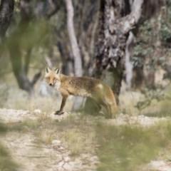 Vulpes vulpes (Red Fox) at Illilanga & Baroona - 27 Dec 2015 by Illilanga