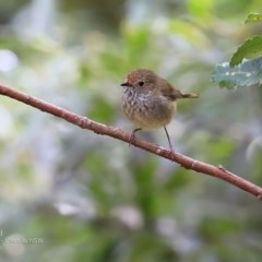 Acanthiza pusilla (Brown Thornbill) at Ulladulla Wildflower Reserve - 16 Nov 2016 by Charles Dove