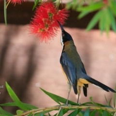 Acanthorhynchus tenuirostris (Eastern Spinebill) at Undefined - 11 Nov 2016 by Charles Dove