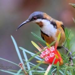 Acanthorhynchus tenuirostris (Eastern Spinebill) at Ulladulla Wildflower Reserve - 14 Nov 2016 by Charles Dove