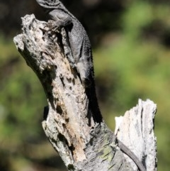 Amphibolurus muricatus (Jacky Lizard) at Morton National Park - 20 Jan 2017 by CRSImages