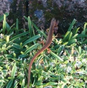 Saproscincus mustelinus at Ulladulla - Millards Creek - 9 Oct 2013