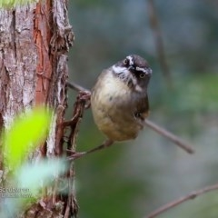 Sericornis frontalis (White-browed Scrubwren) at Ulladulla Wildflower Reserve - 14 Nov 2016 by Charles Dove