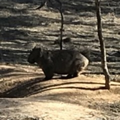 Vombatus ursinus (Wombat) at Bungendore, NSW - 10 Jun 2018 by yellowboxwoodland