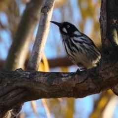 Phylidonyris novaehollandiae (New Holland Honeyeater) at Jerrabomberra Wetlands - 10 Jun 2018 by BIrdsinCanberra