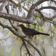 Turdus merula (Common Blackbird) at Illilanga & Baroona - 1 Jan 2014 by Illilanga
