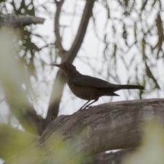 Turdus merula at Illilanga & Baroona - 2 Jan 2014