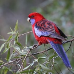 Platycercus elegans (Crimson Rosella) at ANBG - 11 Jun 2018 by Leo