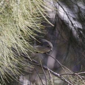 Pachycephala pectoralis at Michelago, NSW - 21 Aug 2015