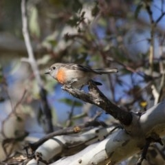 Petroica boodang (Scarlet Robin) at Illilanga & Baroona - 4 Jun 2012 by Illilanga