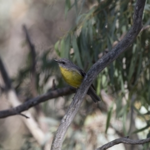 Eopsaltria australis at Illilanga & Baroona - 11 Feb 2018
