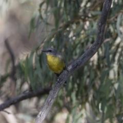 Eopsaltria australis at Michelago, NSW - 11 Feb 2018