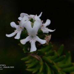 Westringia fruticosa (Native Rosemary) at South Pacific Heathland Reserve - 9 Nov 2016 by Charles Dove