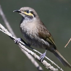 Caligavis chrysops (Yellow-faced Honeyeater) at South Pacific Heathland Reserve - 6 Nov 2016 by Charles Dove