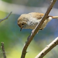 Acanthiza pusilla (Brown Thornbill) at Garrad Reserve Walking Track - 31 Oct 2016 by Charles Dove