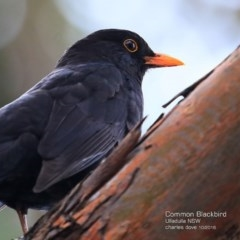 Turdus merula (Eurasian Blackbird) at Ulladulla - Millards Creek - 1 Nov 2016 by Charles Dove