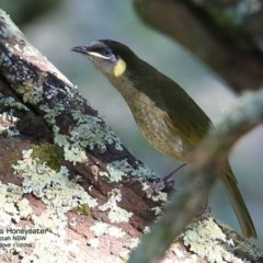 Meliphaga lewinii (Lewin's Honeyeater) at Yatteyattah Nature Reserve - 3 Nov 2016 by Charles Dove