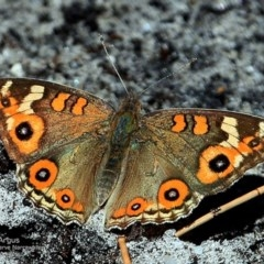 Junonia villida (Meadow Argus) at Garrad Reserve Walking Track - 4 Nov 2016 by Charles Dove
