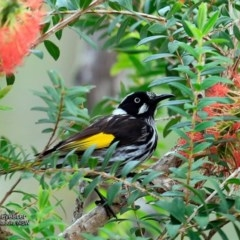 Phylidonyris novaehollandiae (New Holland Honeyeater) at One Track For All - 31 Oct 2016 by Charles Dove