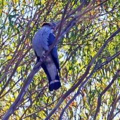 Lopholaimus antarcticus (Topknot Pigeon) at Yatteyattah Nature Reserve - 3 Nov 2016 by Charles Dove