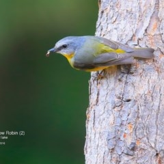 Eopsaltria australis (Eastern Yellow Robin) at Wairo Beach and Dolphin Point - 23 May 2016 by Charles Dove