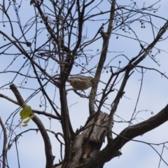 Pyrrholaemus sagittata (Speckled Warbler) at Illilanga & Baroona - 22 Jan 2012 by Illilanga