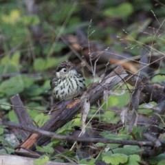 Pyrrholaemus sagittata (Speckled Warbler) at Illilanga & Baroona - 18 Jun 2012 by Illilanga
