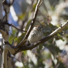 Pyrrholaemus sagittata (Speckled Warbler) at Illilanga & Baroona - 15 Sep 2012 by Illilanga