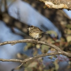 Pyrrholaemus sagittata (Speckled Warbler) at Illilanga & Baroona - 1 Oct 2012 by Illilanga