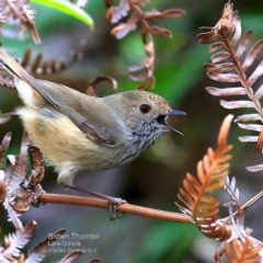 Acanthiza pusilla (Brown Thornbill) at Conjola Bushcare - 15 May 2016 by Charles Dove