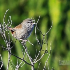 Hylacola pyrrhopygia (Chestnut-rumped Heathwren) at Booderee National Park - 10 May 2016 by Charles Dove