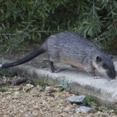 Hydromys chrysogaster (Rakali or Water Rat) at ANBG - 12 Jun 2018 by Alison Milton