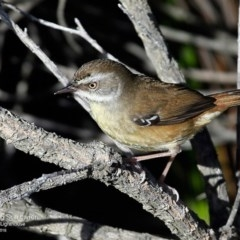 Sericornis frontalis (White-browed Scrubwren) at Booderee National Park - 10 May 2016 by Charles Dove