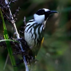 Phylidonyris niger (White-cheeked Honeyeater) at Booderee National Park - 10 May 2016 by Charles Dove