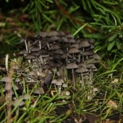 Coprinellus etc. at ANBG - 12 Jun 2018