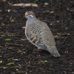 Phaps chalcoptera (Common Bronzewing) at ANBG - 12 Jun 2018 by Alison Milton