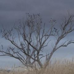 Sturnus vulgaris (Common Starling) at Illilanga & Baroona - 4 Jan 2011 by Illilanga