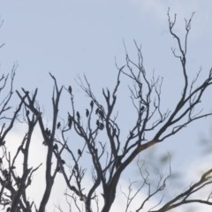 Sturnus vulgaris (Common Starling) at Illilanga & Baroona - 11 Feb 2012 by Illilanga