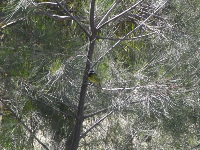 Nesoptilotis leucotis at Michelago, NSW - 2 Apr 2010