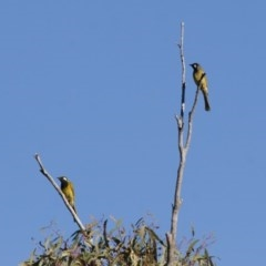 Nesoptilotis leucotis (White-eared Honeyeater) at Illilanga & Baroona - 12 Apr 2012 by Illilanga
