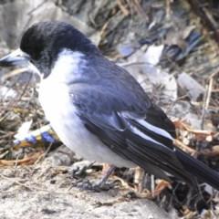 Cracticus torquatus (Grey Butcherbird) at Illilanga & Baroona - 25 Jul 2009 by Illilanga