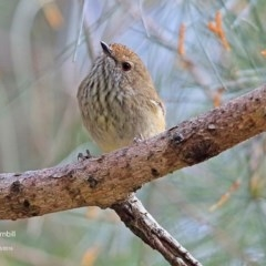 Acanthiza pusilla (Brown Thornbill) at Kings Point, NSW - 9 May 2016 by Charles Dove
