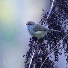 Acanthiza pusilla (Brown Thornbill) at McDonald State Forest - 11 May 2016 by Charles Dove