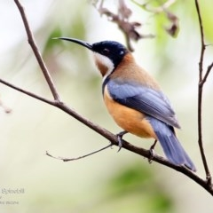 Acanthorhynchus tenuirostris (Eastern Spinebill) at Burrill Lake Aboriginal Cave Walking Track - 8 May 2016 by Charles Dove